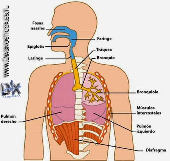Anatomia - Sistema Respiratorio | .