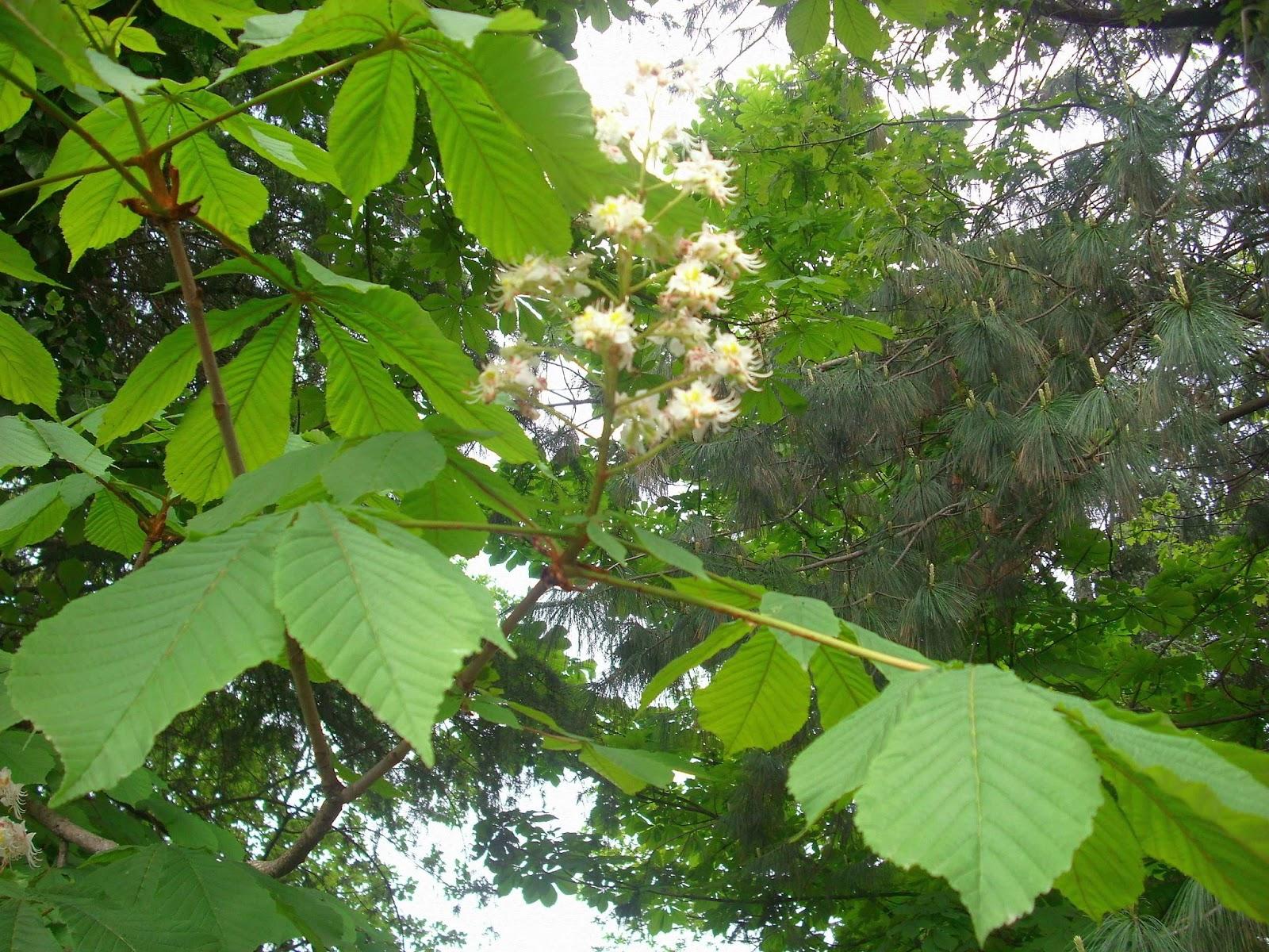 Fiori di alberi di alto fusto for Alberi alto fusto nomi