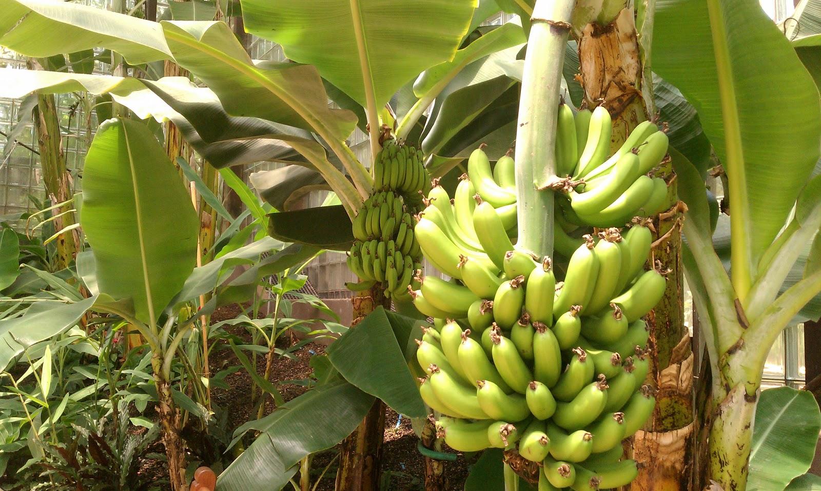 Banana plant images