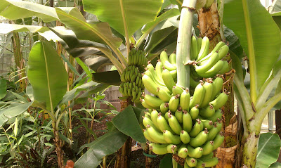 http://4.bp.blogspot.com/-KHAi9l1KQrw/UBLVnHCTaLI/AAAAAAAAAJw/0aTBYbkH_I8/s1600/banana+plant.jpg