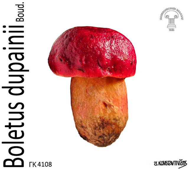 Rubroboletus dupainii (Boud.) Kuan Zhao & Zhu L. Yang