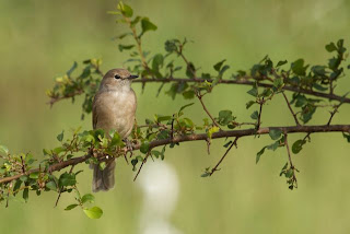 African Dusky Flycatcher (James Hogg)