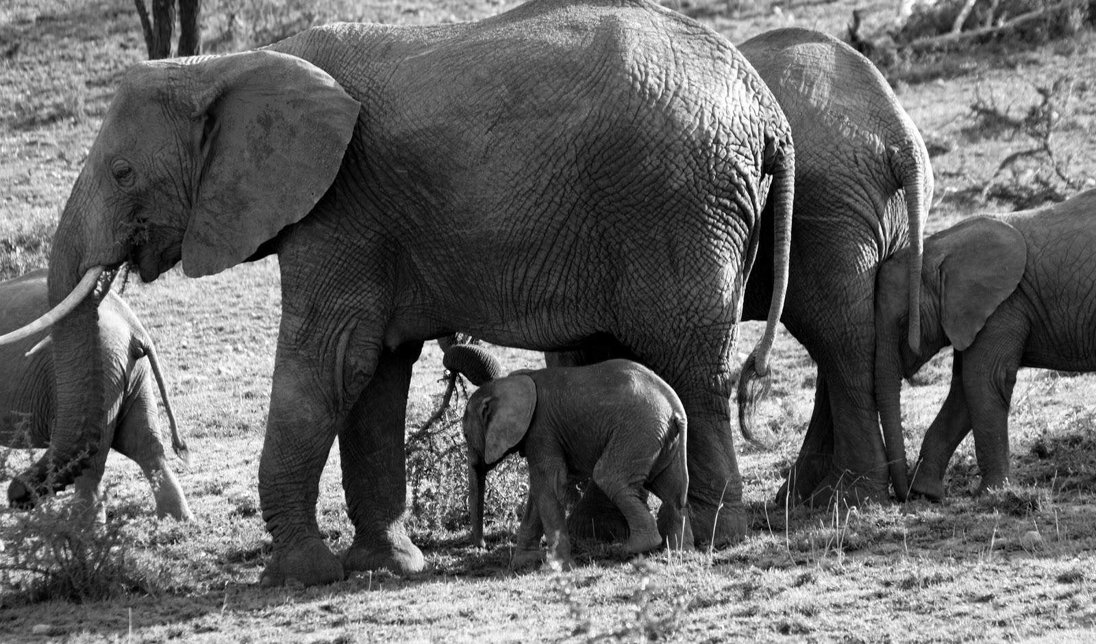 Elephant Baby #elephant #elephantbaby #tanzania #africa 2011