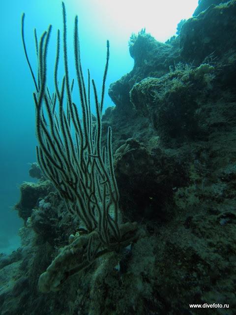 Черный коралл фото