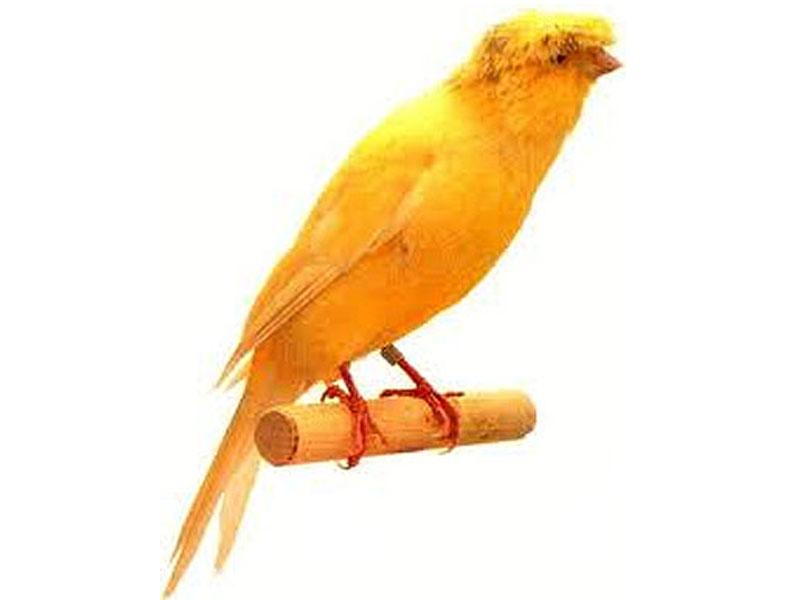 jenis kenari yang paling besar dibandingkan dengan jenis kenari    Jenis Burung Kenari