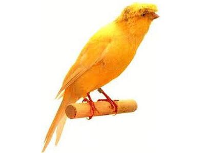 Gambar Burung Kenari Lancashire