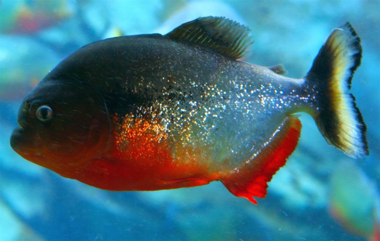 Piranha fishes world hd images free photos for Pictures of piranha fish