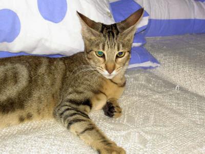 Foto Kucing Sokoke