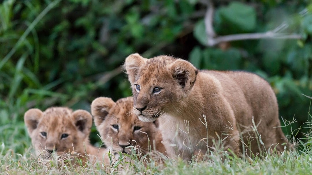 Lion Babies HD Wallpaper
