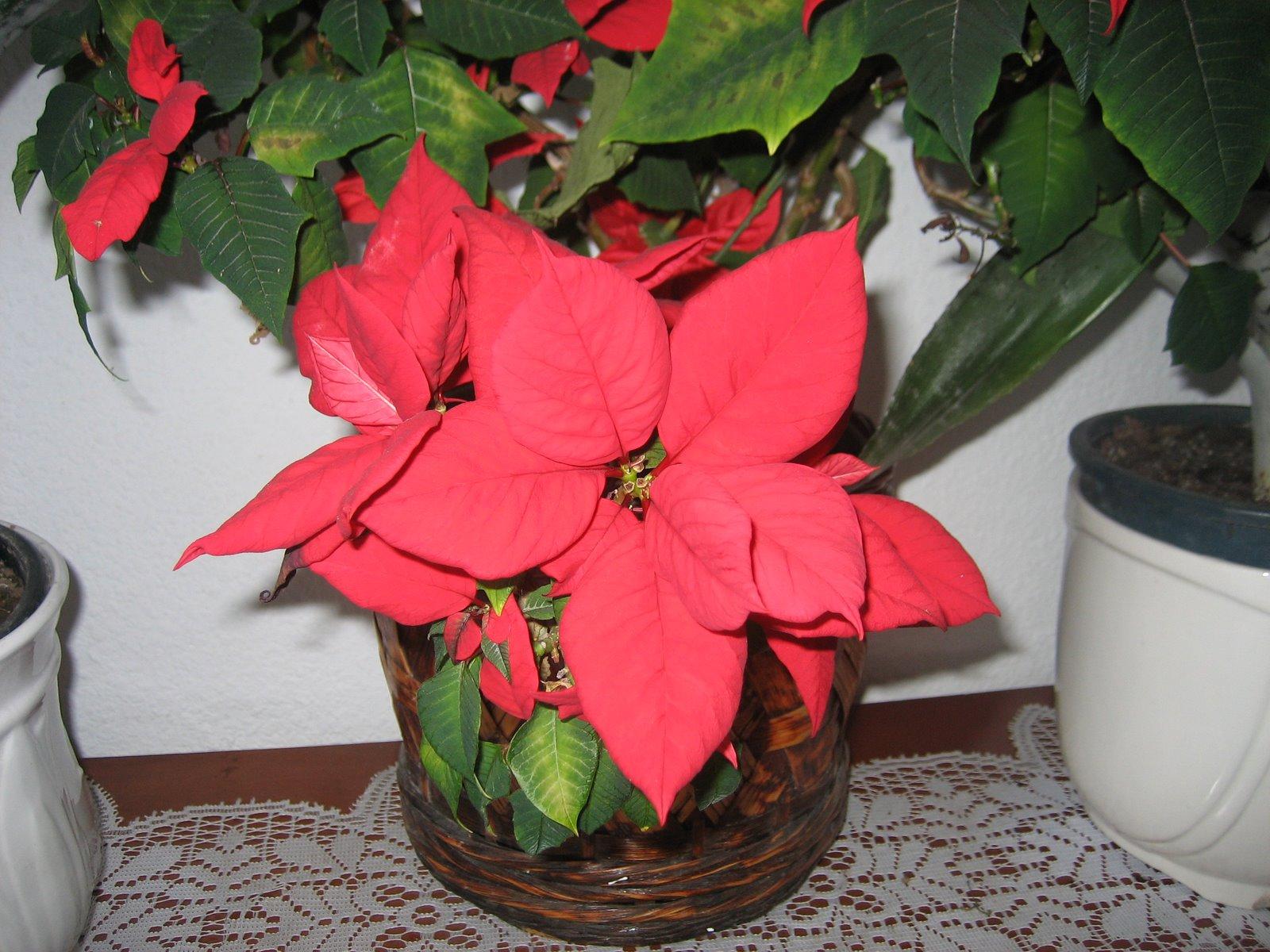 Cositas a ganchillo diciembre 2011 - Que cuidados necesita la flor de pascua ...