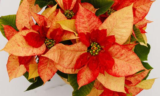 Plantamer la flor de pascua euphorbia pulcherrima - Que cuidados necesita la flor de pascua ...