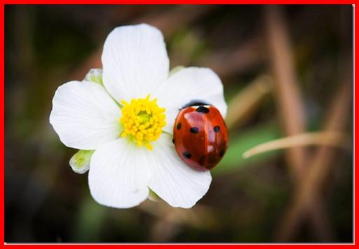 Le blog de primavera la coccinelle po me de victor hugo - Poeme coccinelle porte bonheur ...