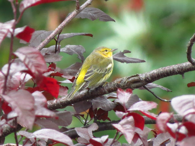 cape may warbler two