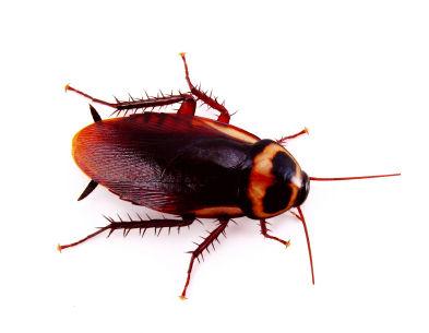 D Earth Cockroaches Cockroach | Pho...