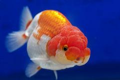 Pirana aquarium l 39 animale domestico pi diffuso al mondo for Pesce oranda