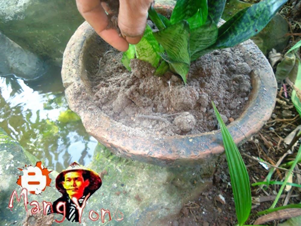 Cara menaman Bunga Lidah Mertua (Sansevieria ) di Pot