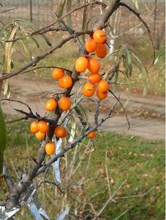 часть ягод облепихи оставляю на деревцах