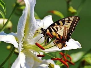 mariposa sobre flor blanca