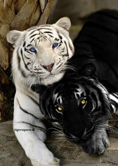 Výsledek obrázku pro tiger's ren kishan