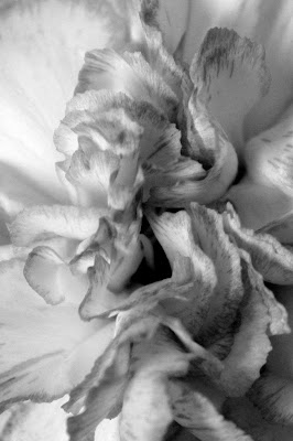 close up of a pink and white carnation in black and white