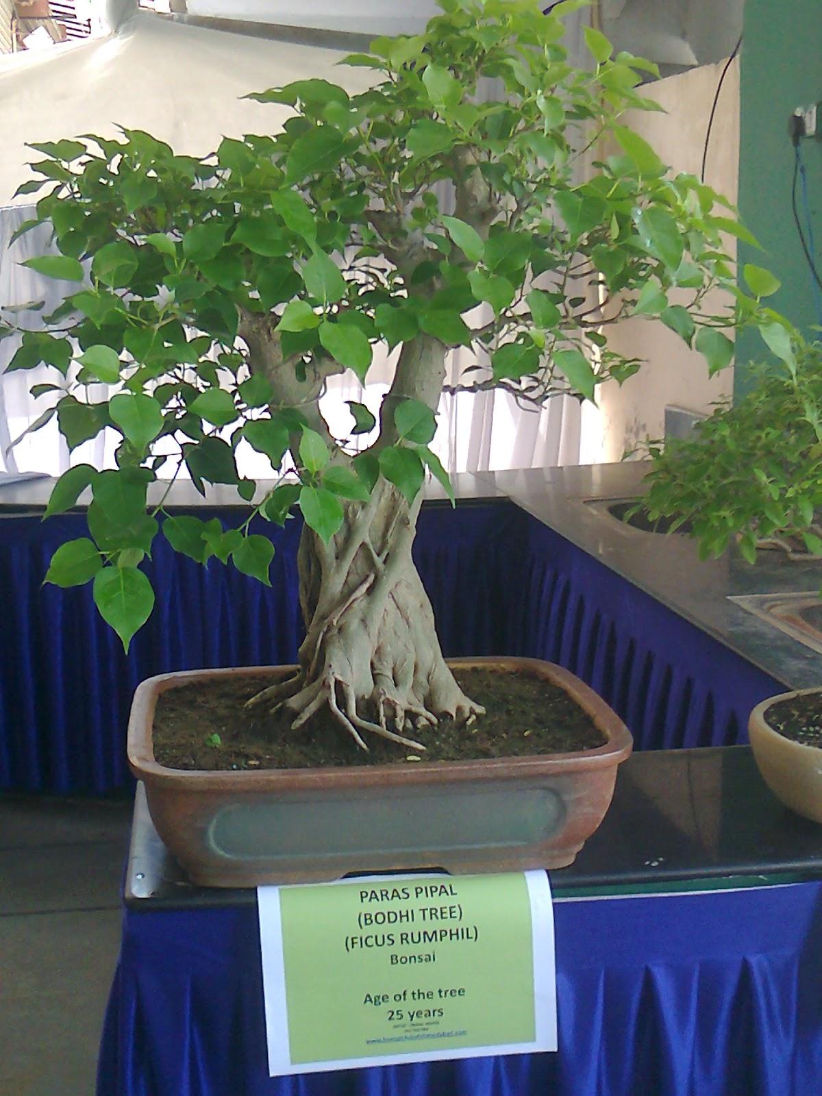 Bonsai Tree Plant Bonsai Plants Care Bonsaitree Growing