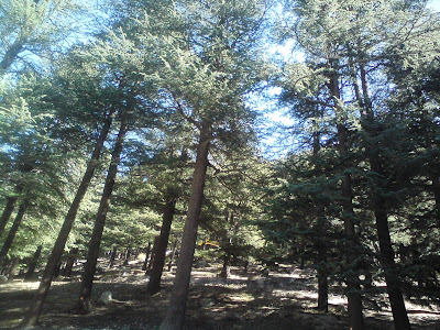 Bhaironghati - lovely forested area, covered by deodhar  trees in the Himalayas