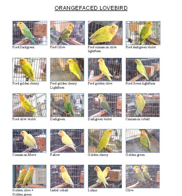 aiko love birds investasi yang menyenangkan