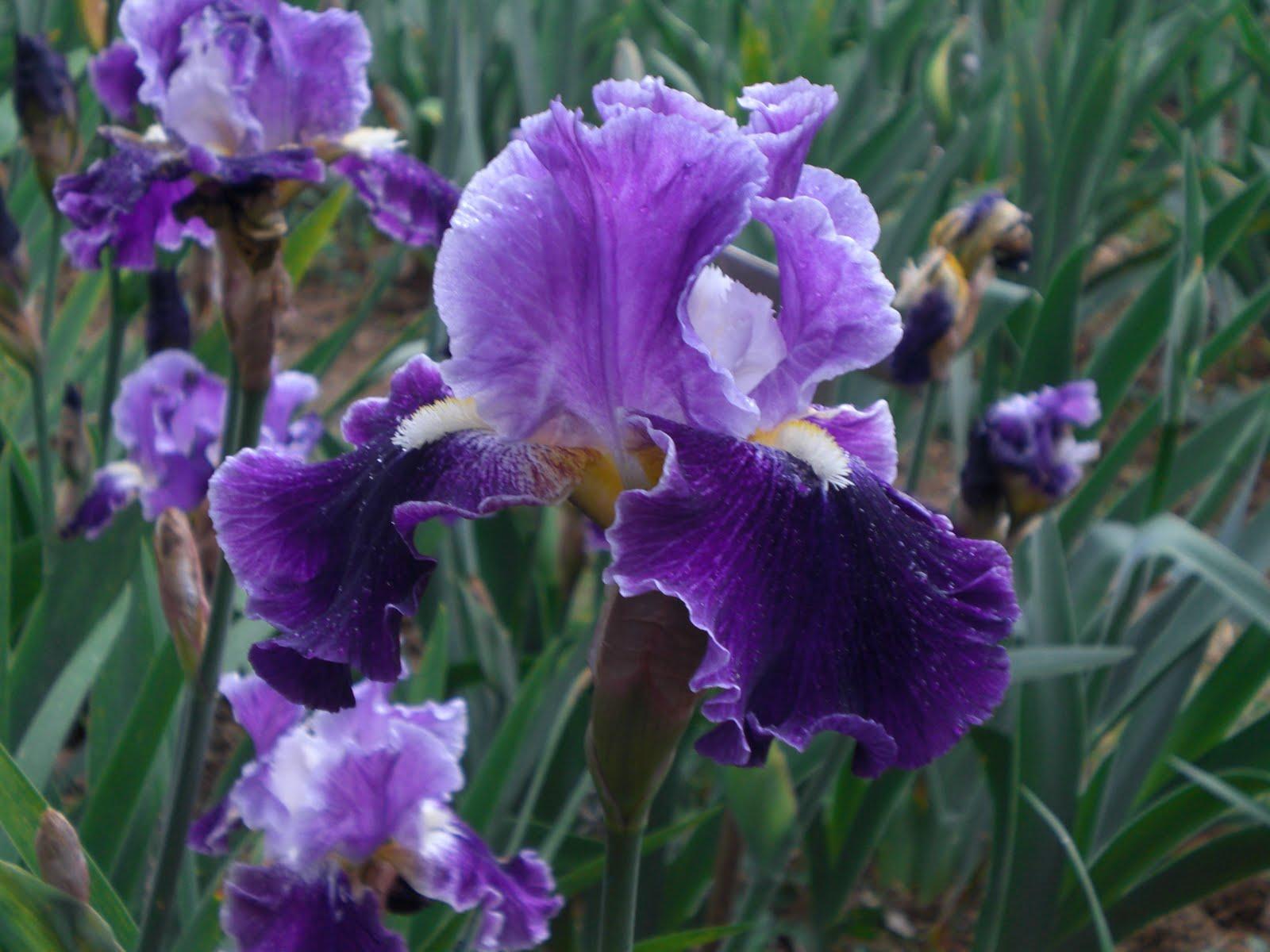Anna lanzetta firenze si veste di colori il giardino - Giardino dell iris firenze ...