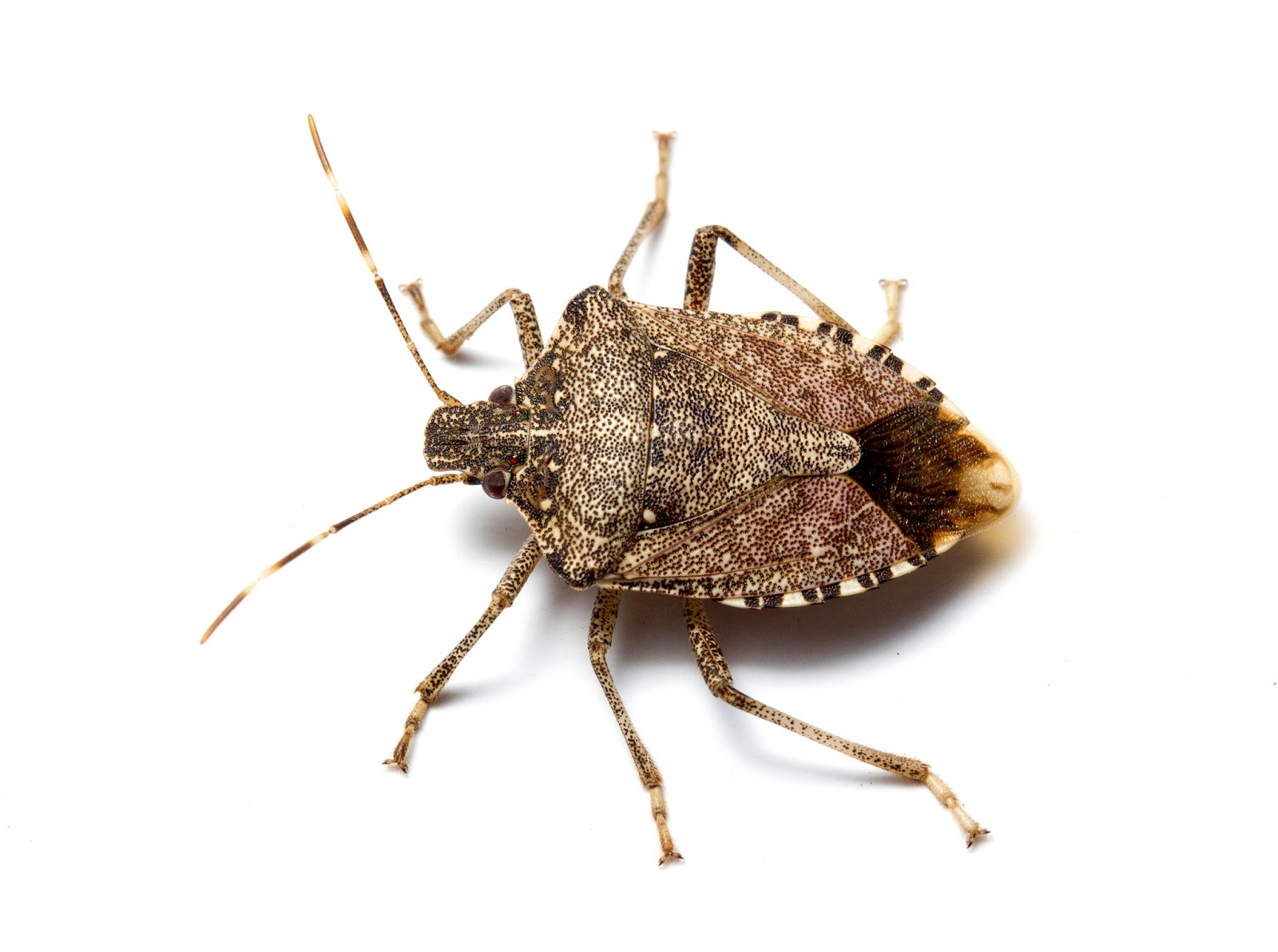 Small Brown Bugs In Bedroom Ncsu Pdic Kissing Bugs And Chagas Disease In Nc