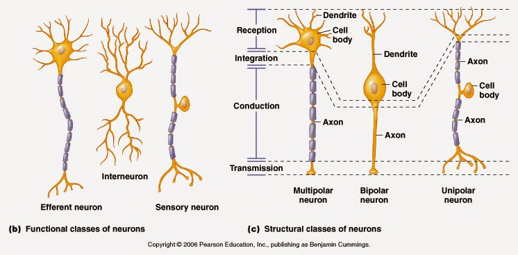 Nervous system nerves and neurons javi ciencias british as it was said above nerve impulses enter the neurons through dendrites and leave through the axon some questions may come to your minds at this point ccuart Images