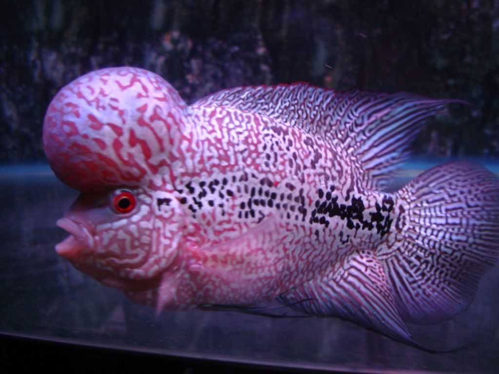 Flowerhorn The Hybrid Cichlids: Shop Flowerhorn ChinhTrung