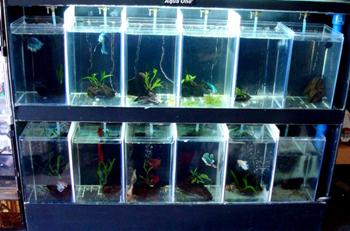 Model Akuarium Modern Untuk Ikan Cupang Hias