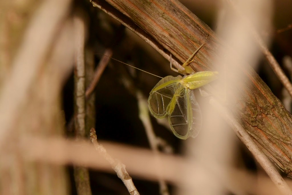Broad-winged Tree Cricket singing