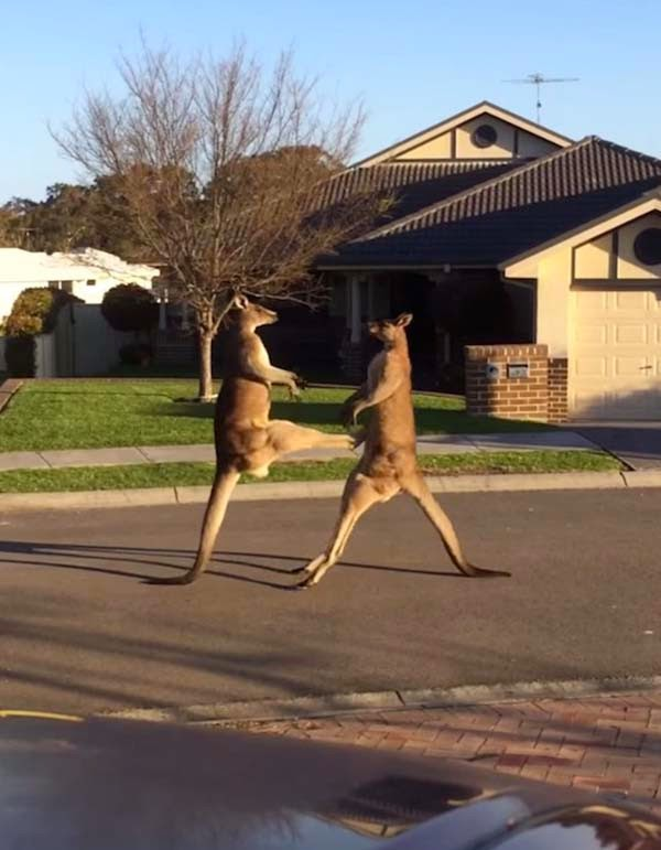 Tipikal Pertarungan Jalanan di Australia