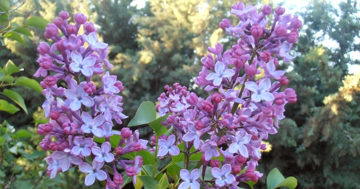 el jardín de la alegría : syringa vulgaris, ese dulce aroma a