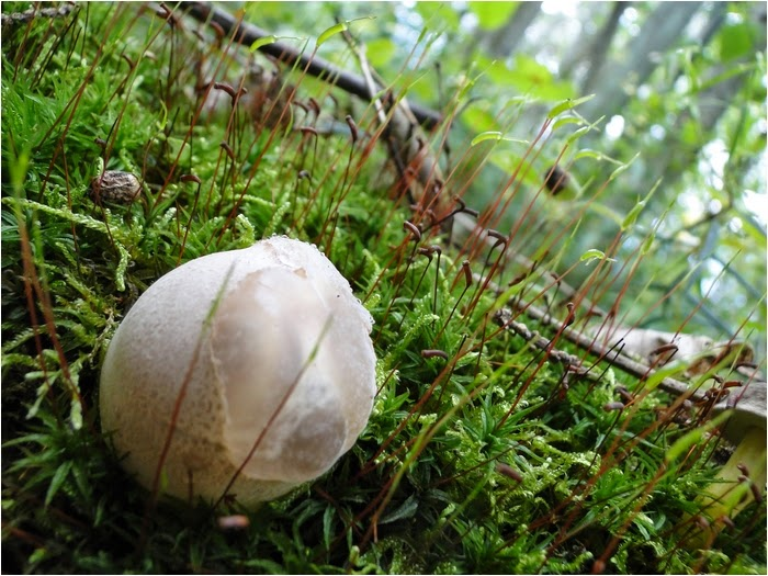 Un champignon étonnant, l' Anthurus d'archer !