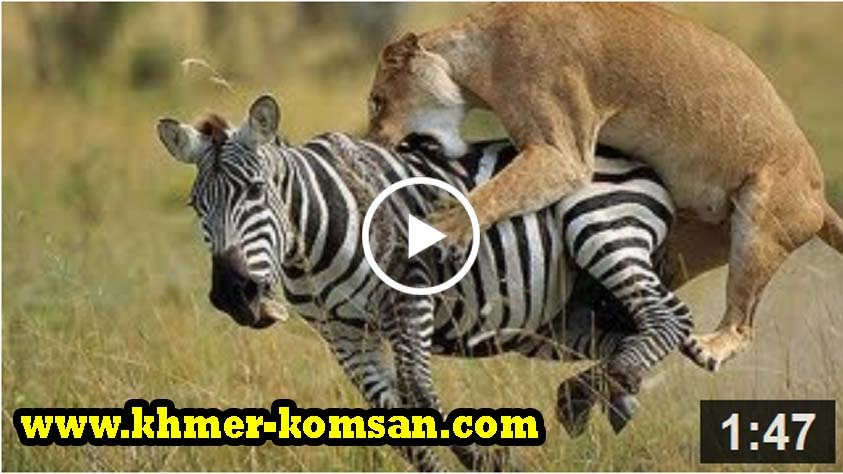 Lion vs Zebra Fight!