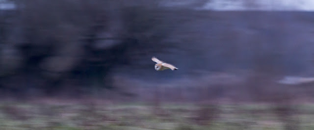 Barn Owl flying in the darkening evening.