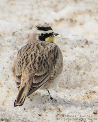 Male Horned Lark. Photo © Shelley Banks; all rights reserved.