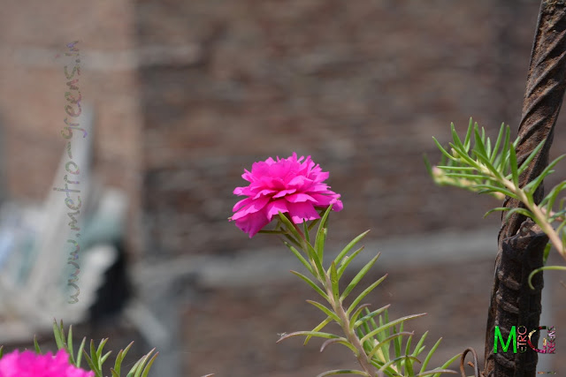 Metro Greens: Portulaca Grandiflora (Pink)