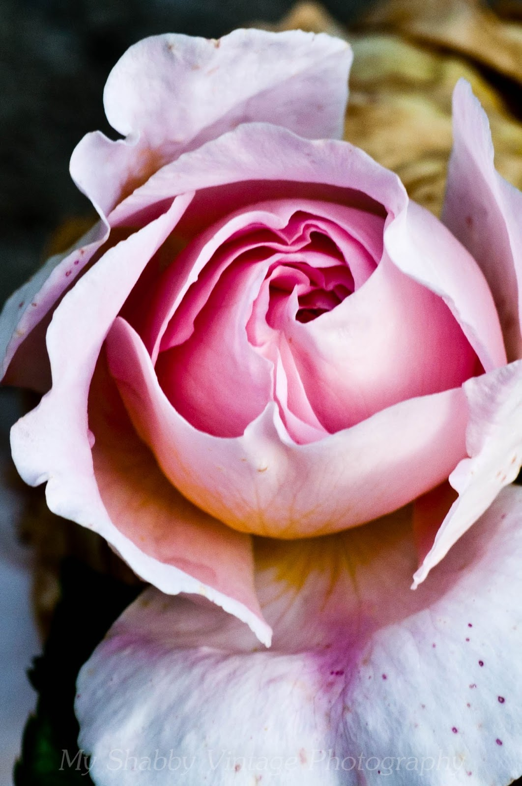 Auscot - moja ružová kráska / Auscot - my pink beauty