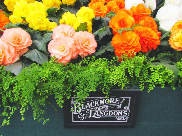 Blackmore and Langdons begonias