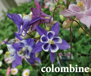 The grass rhizome shade tolerant perennials and ground covers columbine the flowers are sometimes compared to butterflies and are as beautiful in a vase as they are in the garden excellent for hummingbirds mightylinksfo Images