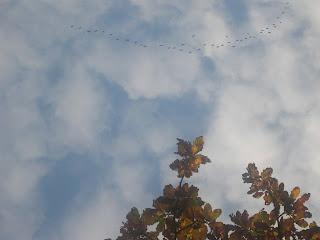Wildgänse, Kraniche, Vogelzug