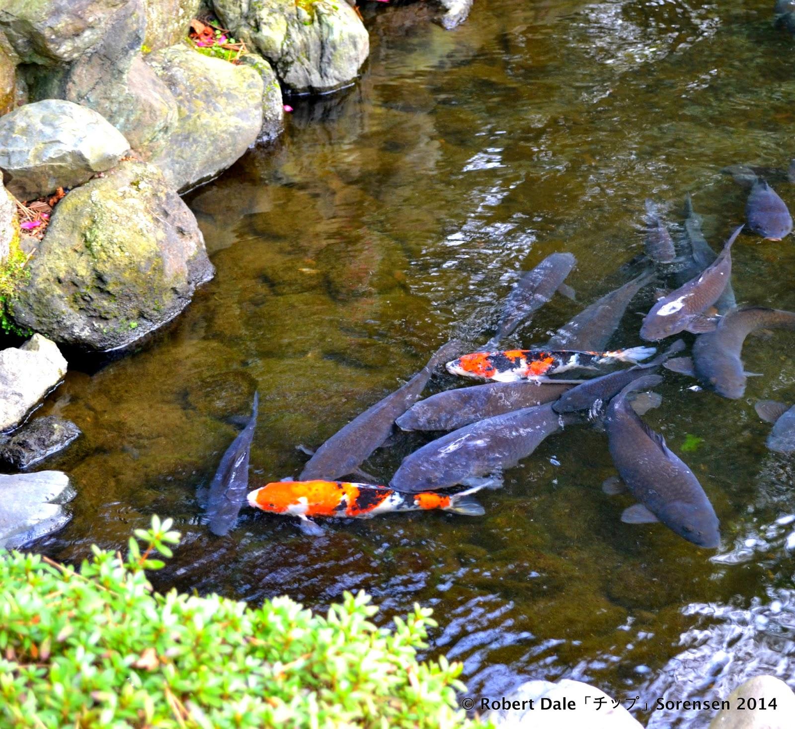 Koi Fish Pond Near Entrance Of Shrine Grounds