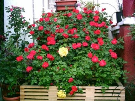 Arte y jardiner a c mo utilizar las rosas en dise o de for Jardineria rosales