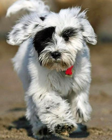 Cute White and Black Tibetan Terrier puppy