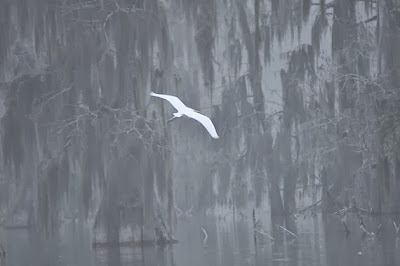 https://www.etsy.com/listing/153632862/white-egret-soaring-on-lake-martin-in?ref=sr_gallery_6&ga_search_query=cypress+trees+louisiana&ga_order=most_relevant&ga_view_type=gallery&ga_ship_to=US&ga_search_type=all&ga_facet=cypress+trees+louisiana