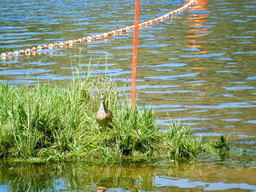 Pato na margem