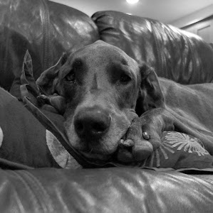 Abby the Great Dane
